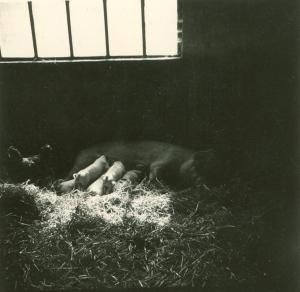 1279. Ferme de Froidmont porcherie truie allaitant ses petits © Josiane Meert.jpg